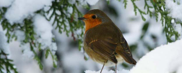 Festive Robin