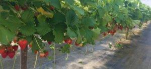 Secrett's Strawberries